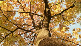 Up to the gold maple tree. Autumn daytime. Smooth dolly shot stock video