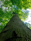 Up to the sky. A view from the lowest position up to the highest point of a beautiful tree in the forest. It is an old beech tree with a big stem and a huge Stock Image