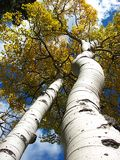 Up the Trunk of an Aspen. Aspen Tree trunk in the Rocky Mountains royalty free stock images