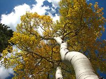 Up the Trunk of an Aspen. Aspen Tree trunk in the Rocky Mountains stock image
