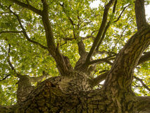 Up the trunk of a big oak tree Stock Photos