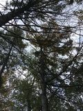 Up view on dark trees. Vladivostok forest, early autumn Royalty Free Stock Photography