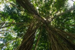Up view from the ground of big and green rainforest tree and a lot of big hanging liana royalty free stock photos