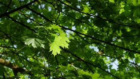 Up view of maple leaf tree of green leaves on a blue sky. stock video footage
