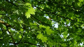Up view of maple leaf tree of green leaves on a blue sky. Up view of maple leaf tree of green leaves on a blue sky in the spring stock footage