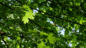 Up view of maple leaf tree of green leaves on a blue sky. Up view of maple leaf tree of green leaves on a blue sky in the spring stock video