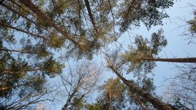Up view of tall Pine trees in a winter forest. Bottom view of tall Pine trees in a winter forest rotating camera stock video