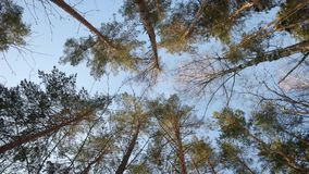 Up view of tall Pine trees in a winter forest. Bottom view of tall Pine trees in a winter forest rotating camera stock video footage