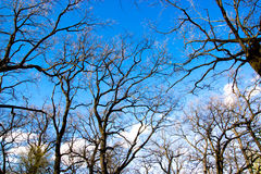 Up view to blue sky and clouds via old oak tree braches Royalty Free Stock Photos