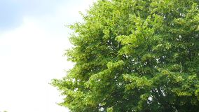 Up view on tree and clouds on blue sky.  stock video footage