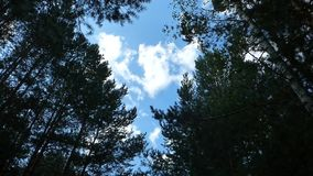 Up view on trees in forest. Blue sky with moving clouds among birches and pines. Summer day landscape stock video