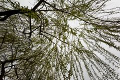 Up viewed hanging weeping willow stock photo