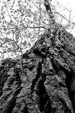 Up your tree!. Picture taken looking up a tree trunk towards the sky, with the texture of the bark prominent, in Black and White Stock Photos