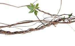Upaćkana kręcona dżungla suszył winogrady z zielonym palmate liściem dziki Obraz Stock
