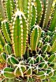 Upaćkany mimo to stunny kaktus obrazy royalty free