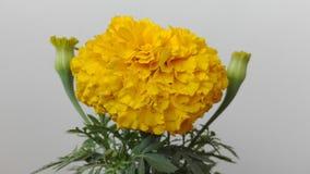 Upaćkany kwiat Fotografia Royalty Free