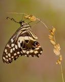 upadek motyla roślin ogrodowej strzelać Fotografia Royalty Free