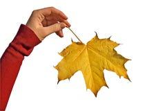 upadek ręce klonów liściach Fotografia Royalty Free