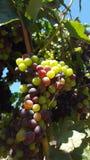 Upclose和个人与索诺马县葡萄树  库存图片