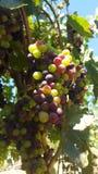 Upclose和个人与索诺马县葡萄树  免版税库存照片