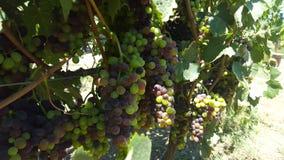 Upclose和个人与索诺马县葡萄树  库存照片