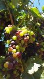 Upclose和个人与索诺马县葡萄树  免版税库存图片