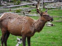 女性麋upclose在黄石国家公园 库存图片