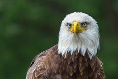 Upclose del águila calva Foto de archivo libre de regalías