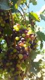 Upclose en persoonlijk met de wijnstokken van sonomaprovincie Stock Foto