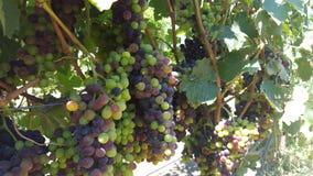 Upclose et personnel avec les vignes du comté de Sonoma Photographie stock