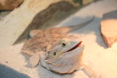Upclose Female Bearded Dragon. Upclose shot of a Female Bearded Dragon Lizard, Reptile, Docile. She is happy and Gaping Royalty Free Stock Images
