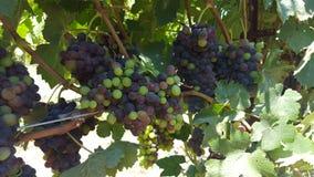 Upclose i ogłoszenie towarzyskie z gronowymi winogradami sonoma okręg administracyjny fotografia stock