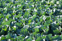 Upclose lövrik grön kål i fält Royaltyfri Bild