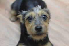 Upclose leal de los ojos conmovedores del perro fotos de archivo