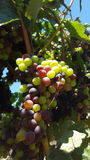 Upclose and personal with the grape vines of sonoma county Stock Images