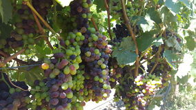 Upclose and personal with the grape vines of sonoma county Stock Photography