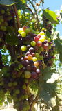 Upclose and personal with the grape vines of sonoma county Royalty Free Stock Photo