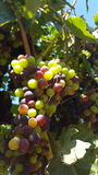 Upclose and personal with the grape vines of sonoma county Royalty Free Stock Images