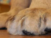 Upclose Lion paws and claws stock photo