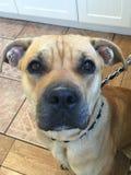 Upclose portrait of american pitt bull mastiff puppy dog Royalty Free Stock Image