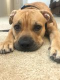 Upclose portrait of american pitt bull mastiff puppy dog Stock Images