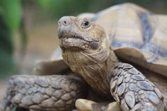 Upclose-Schuss der großen afrikanischen angetriebenen Schildkröte Stockfotografie