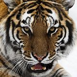 Upclose shot of Tiger head. Here is a square up close shot of the head of a tiger Royalty Free Stock Photography
