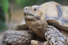 Upclose skott av den stor afrikan sporrade sköldpaddan Arkivbild