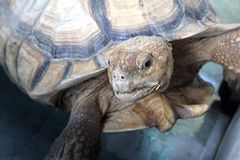 Upclose stor afrikan sporrad sköldpadda Royaltyfria Bilder