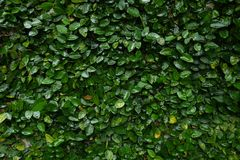 Upclose watery creeping fig vine background. Green garden tree nature forest plant natural woods wallpaper royalty free stock images