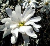 Macro magnolia stock photography