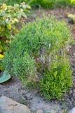 Update old lavender bush. Trimming half bush royalty free stock images
