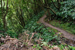 Uphill forest scenery from the Azores Faial da Terra trekking paths Royalty Free Stock Images