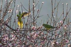 Upierścieneni Parakeets zdjęcie royalty free